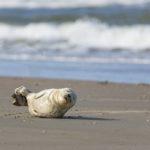 Sæler ved Vadehavet